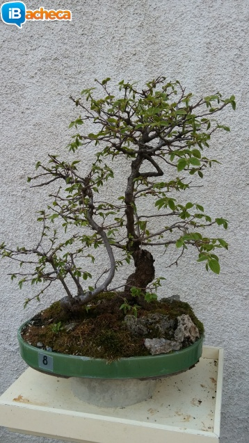 Immagine 4 - Bonsai carpino nero
