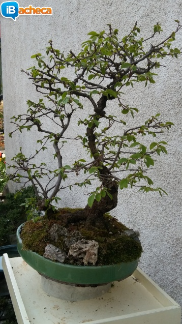 Immagine 5 - Bonsai carpino nero